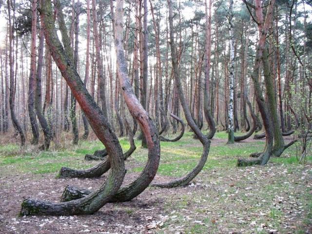 Кривой лес (Krzywy Las)  Грыфино (Gryfino) Польша