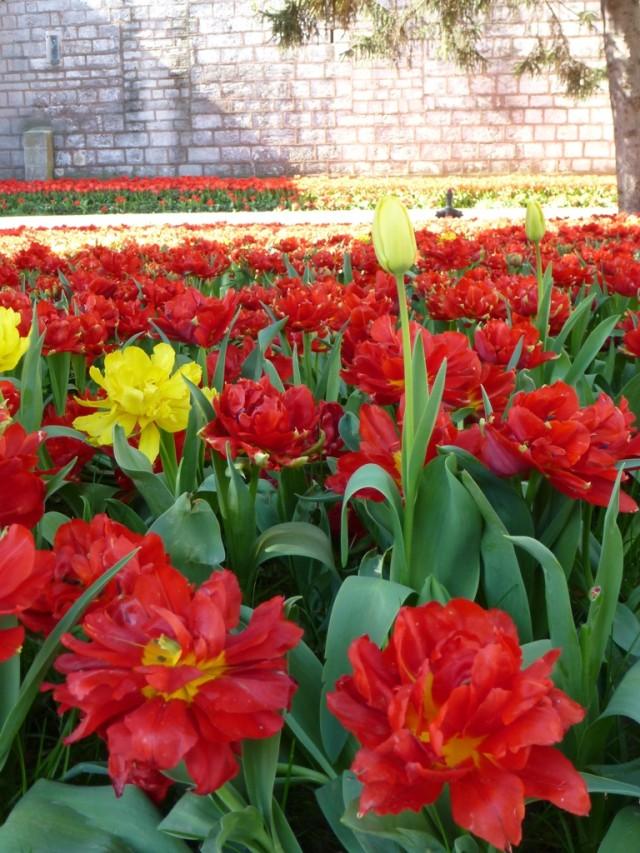 Тюльпаны дворца