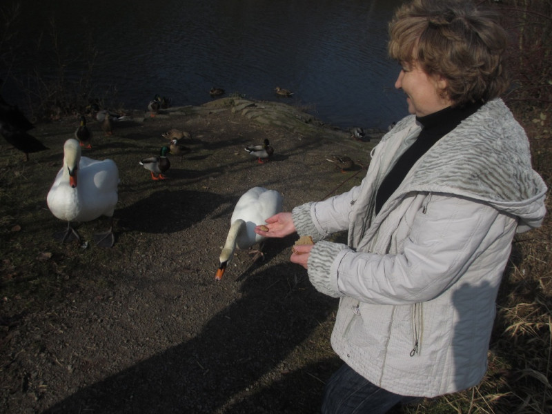 Кормление лебедей на озере Бигезее